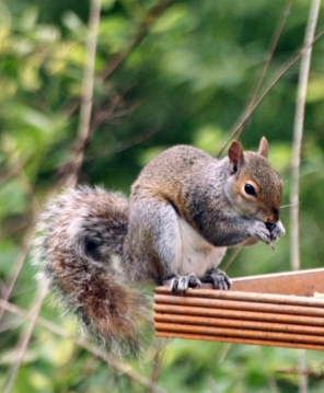 Picture of a squirrel.