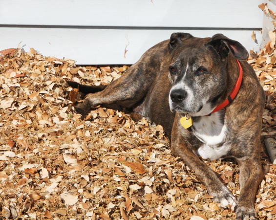 Picture of a pit bull in a pile of leaves.