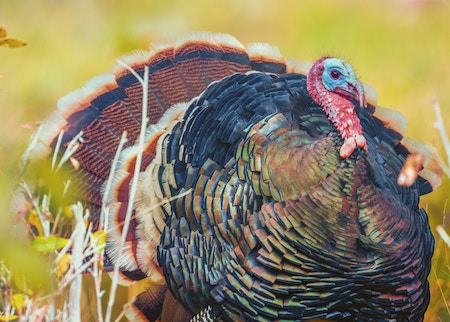 Picture of a large turkey.