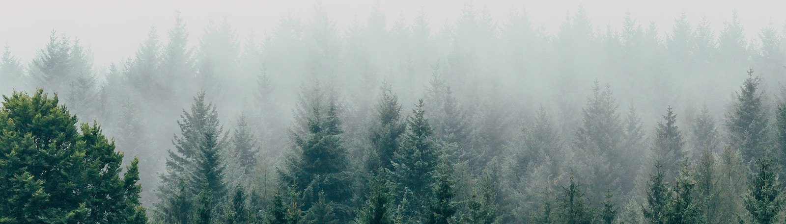 Forest of evergreen trees with fog.